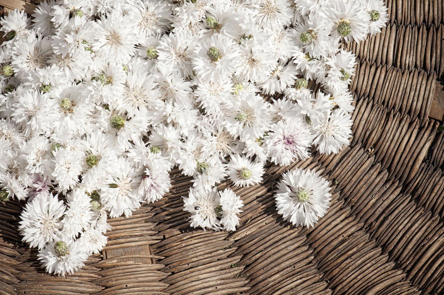 Blüten aus biologischem Anbau - Kornblumen Weiss