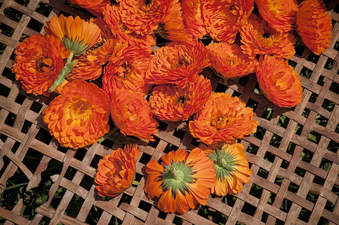 Blüten aus biologischem Anbau - Ringelblumen