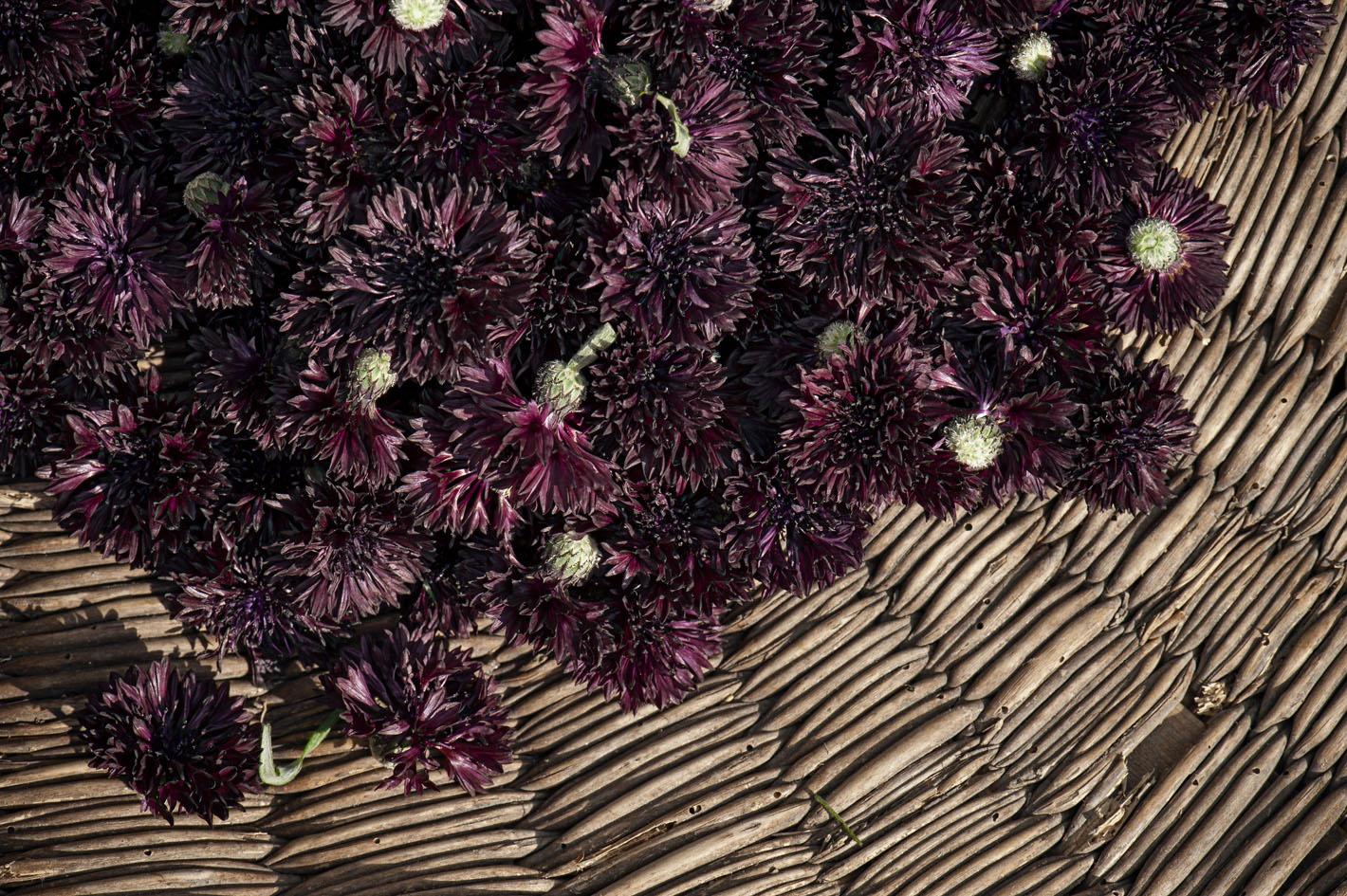 Blüten aus biologischem Anbau - Kornblumen Schwarz