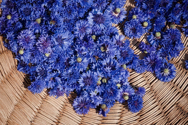 Blüten aus biologischem Anbau - handgepflückte blaue Kornblumen